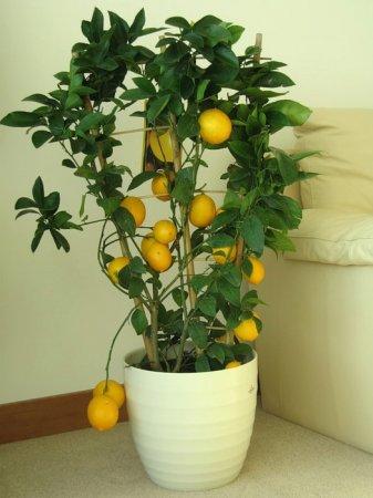 Вырастить лимон дома в горшке