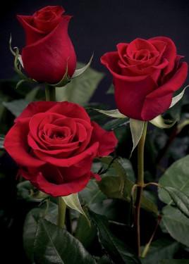 Розы долго стояли